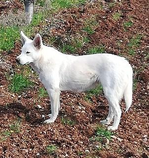 cane monferrato