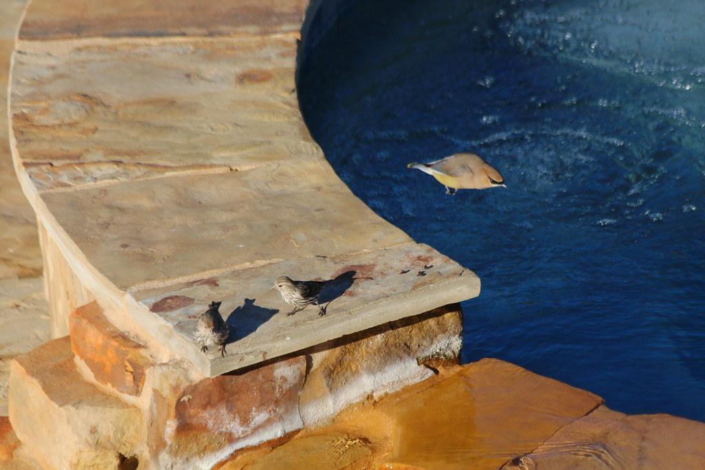 Cedar Waxwing Strafes two Pine Siskins