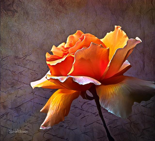 E345 Rose, Blumen, Flower