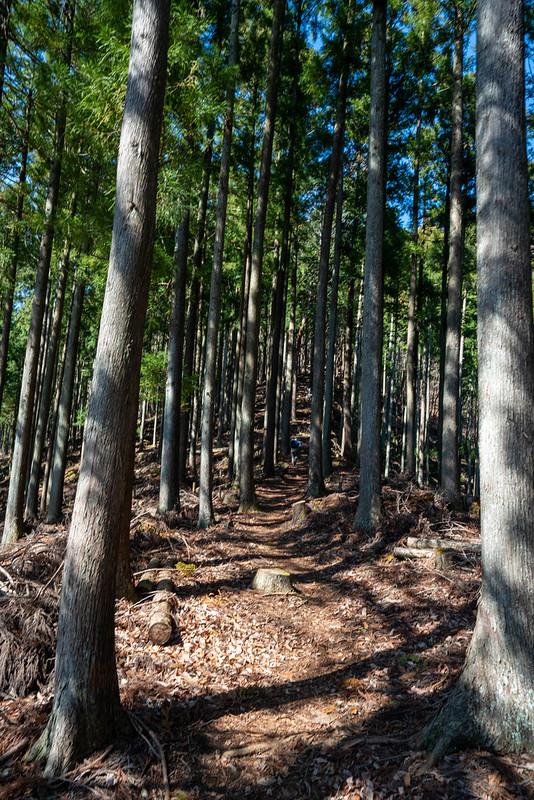 ミツバ岳の杉の樹林帯