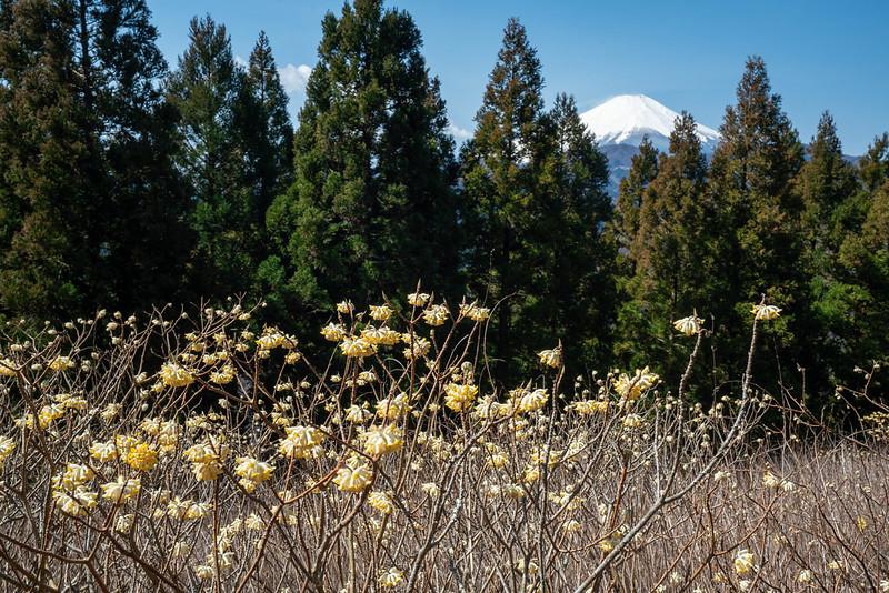 ミツバ岳のミツマタと富士山