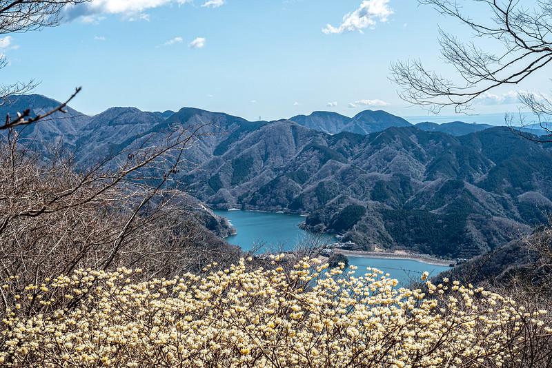 丹沢湖とミツマタ