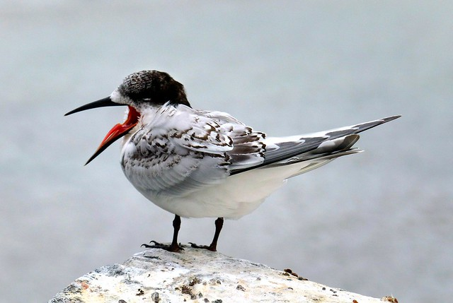 White fronted tern NZ