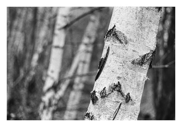 Silver birch-3