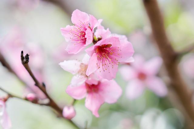 Peach Blossoms : 桃の花
