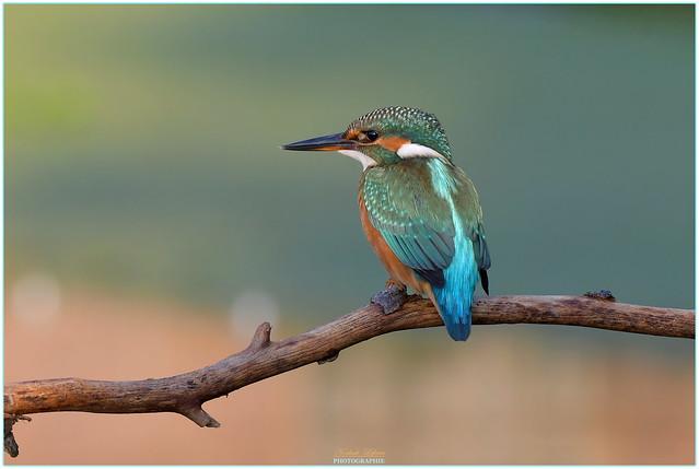 Martin pêcheur d'Europe ( Alcedo atthis - Common kingfisher )