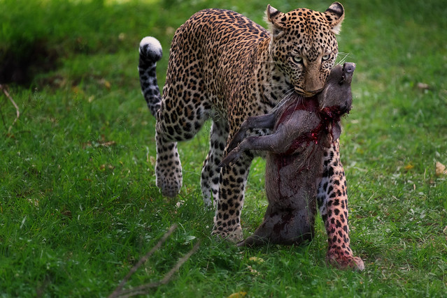 Leopard caught a young warthog for her cub