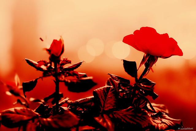 Red Pasión Rose