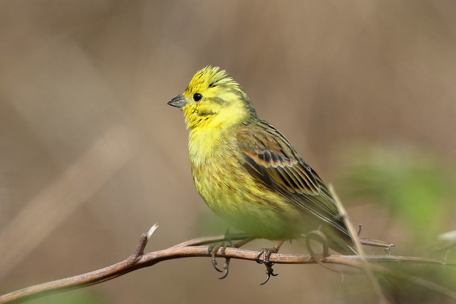 From the Archives:- Yellowhammer (Emberiza citrinella) ♂