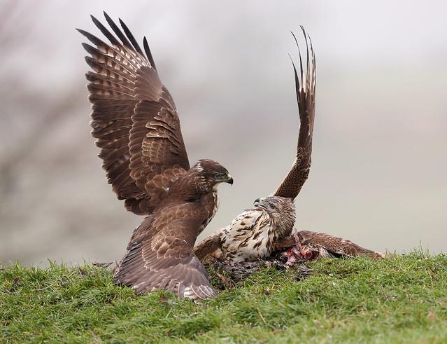 Buzzards fighting!