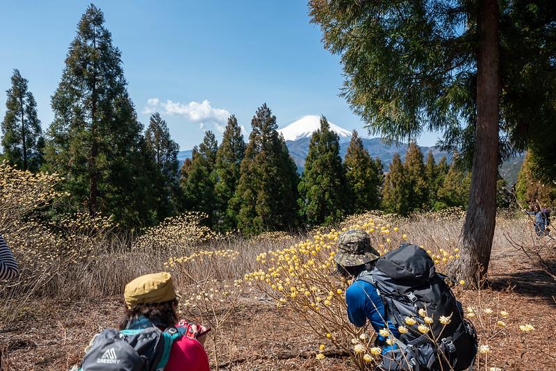 ミツバ岳でミツマタを撮影する登山者