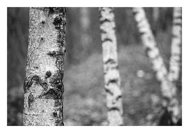 Silver birch-4