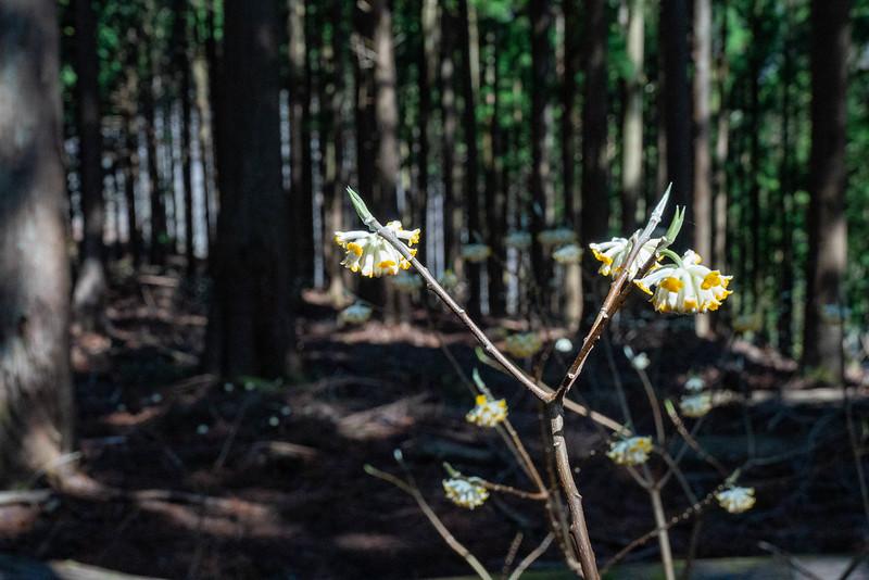 権現山の途中に咲くミツマタ