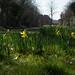 20210228 (002) Cawston Daffodils