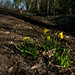 20210228 (007) Daffs I planted on Cawston Greenway in 2020 during lockdown-1