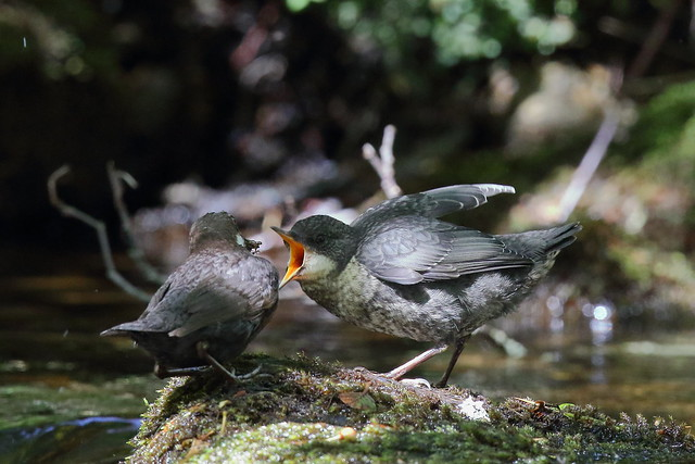 From the Archives:- White-throated Dipper (Cinclus cinclus)