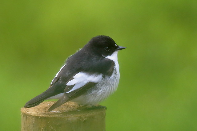 From the Archives:- European Pied Flycatcher (Ficedula hypoleuca)