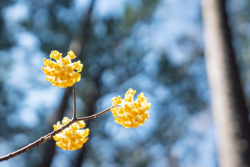 ミツマタは3つに分かれて咲く