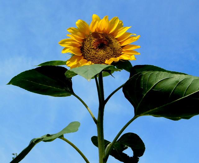 Słonecznik * EXPLORE