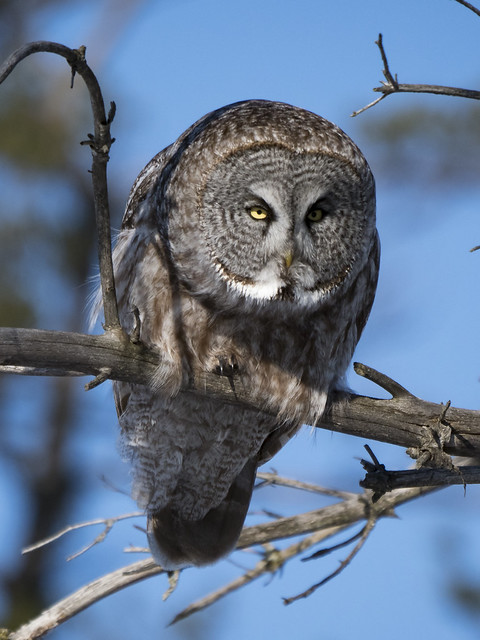 Chouette lapone, Great Gray owl
