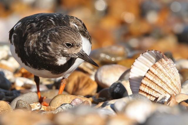 Turnstone Winter plumage (Arenaria interpres) Dungeness NNR