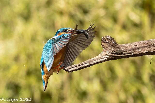 Eisvogel(Kingfisher)