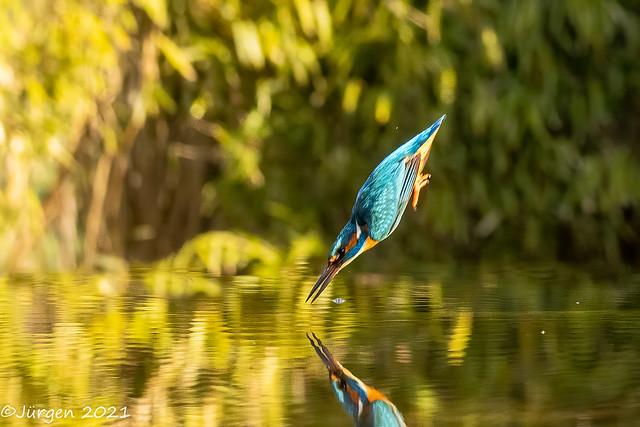 Eisvogel (Kingfisher)