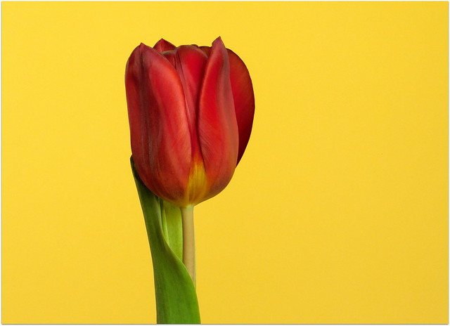 Czerwony tulipan * EXPLORE