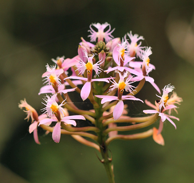 Orchid in Cocora Valley