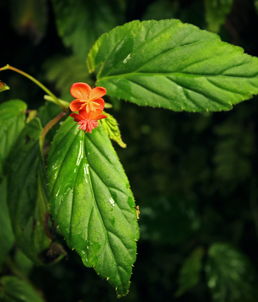 Begonia in Cocora Valley