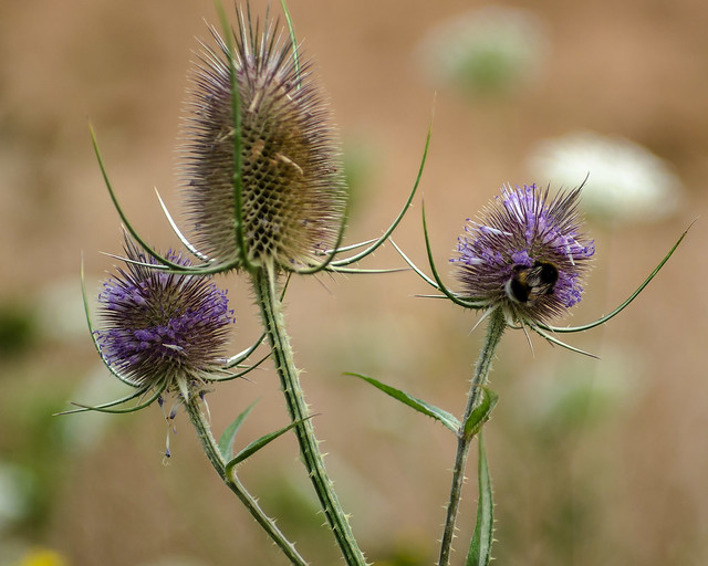 """""""fuller's teasel & friend"""" 😋 (portrait study of inflorescence with harvester)"""