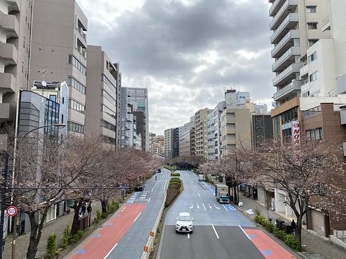 桜 サクラ 明治通り 恵比寿 2021/3/20