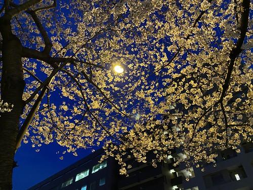 夜桜 2021/3/20