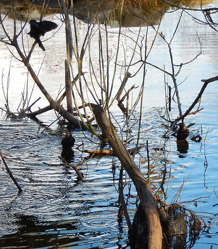 red-winged blackbirds having a bath in the duck pond on Granville Island