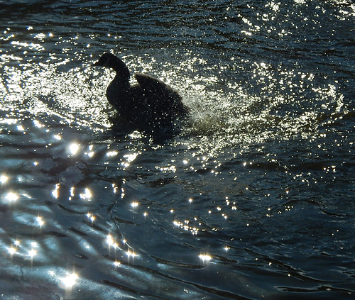 Canada Goose splashing bath having a bath in the duck pond on Granville Island