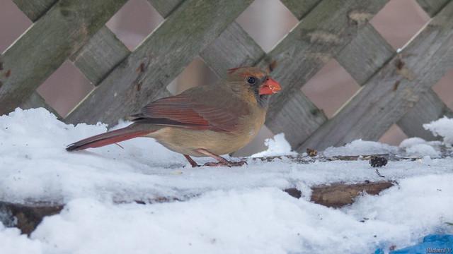 Cardinal rouge femelle - Northern Cardinal - Québec, PQ, Canada - 2570