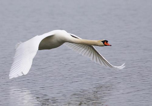 Mute Swan - Irondequoit Bay Park West - © Jeanne Verhulst - Mar 17, 2021