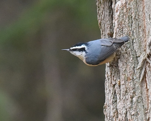 Red-breasted Nuthatch - Chili - © Barbara Smith - Mar 18, 2021