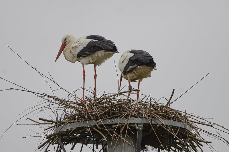 Weissstorchpaar bei den Eggelwiesen in Lütgeneder