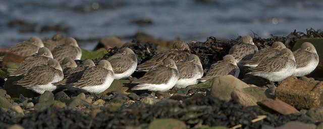 Dunlin, Dalgety Bay, Fife