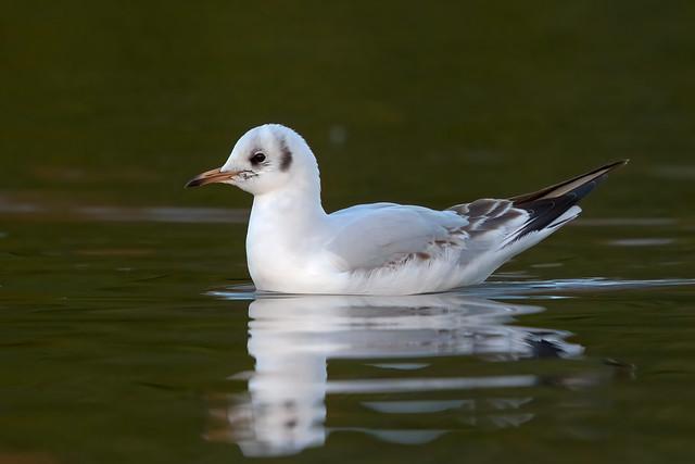 Black-headed Gull, Kirkcaldy, Fife