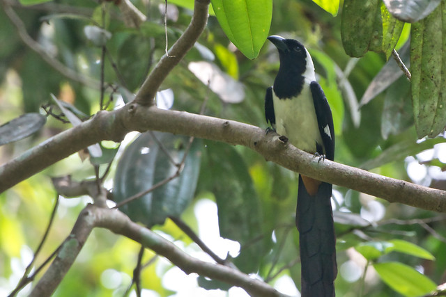 White Bellied treepie