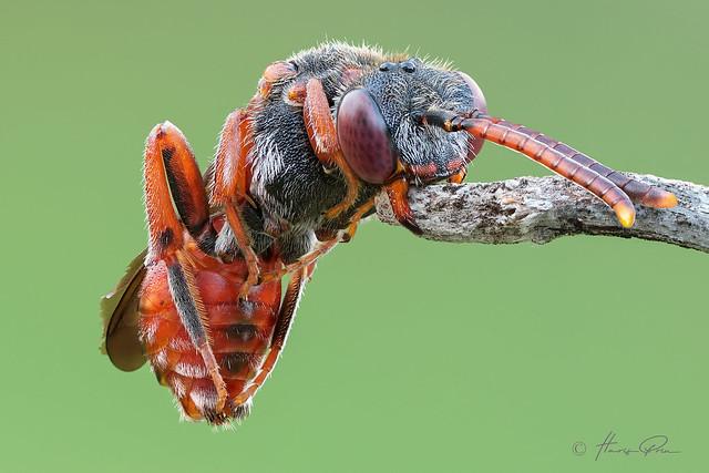 Nomada Bee