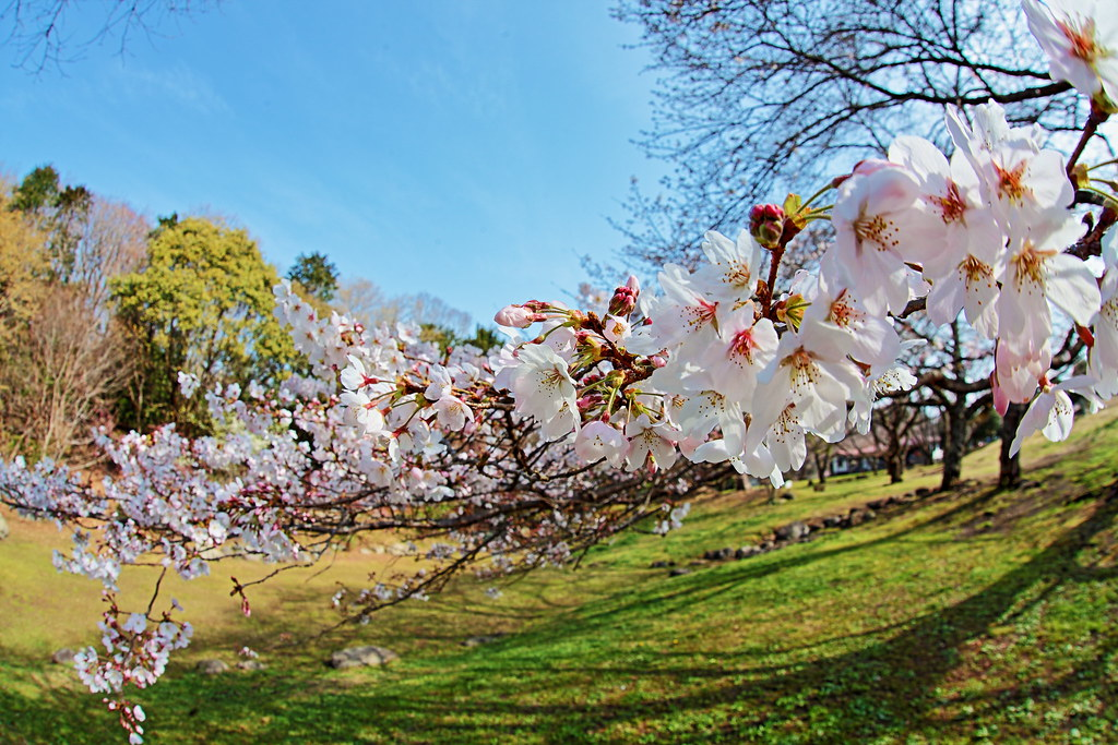 This year the cherry trees are blooming early