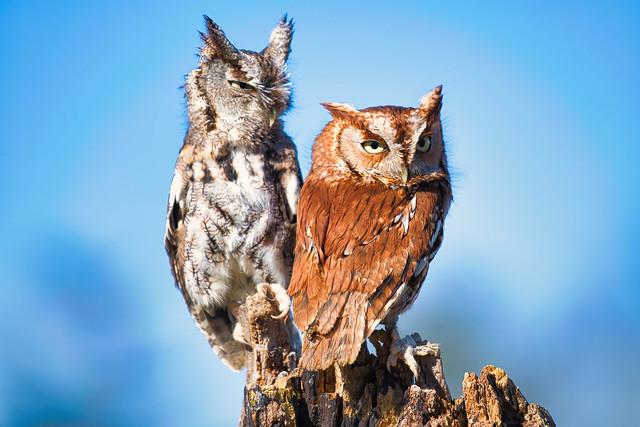 Eastern Screech Owls_8500772