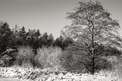 Tree and Snow Covered Bushes