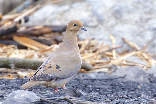 Mourning Dove - Irondequoit Bay Park West - © Jeanne Verhulst - Mar 17, 2021