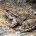 5.Camouflaged Toad
