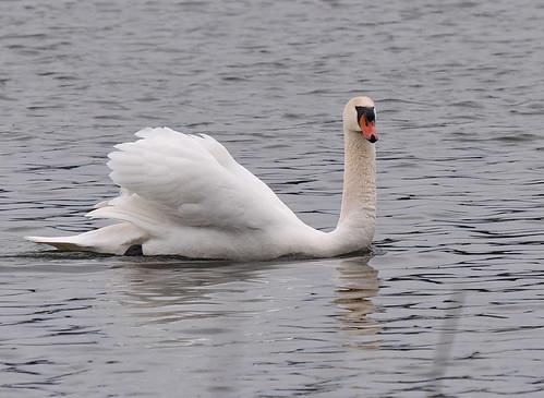Mute Swan - Irondequoit Bay Park West - © Barbara Smith - Mar 18, 2021