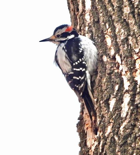 Hairy Woodpecker - Irondequoit - © Candace Giles - Mar 19, 2021